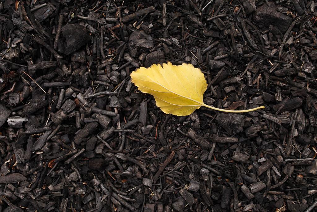 Yellow Leaf Sigma Quattro H